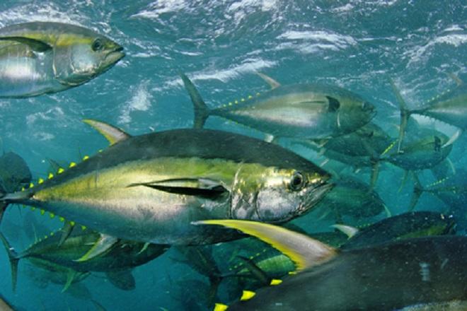 Cá ngừ vây vàng là một trong những loại cá mà bà bầu có thể ăn được.