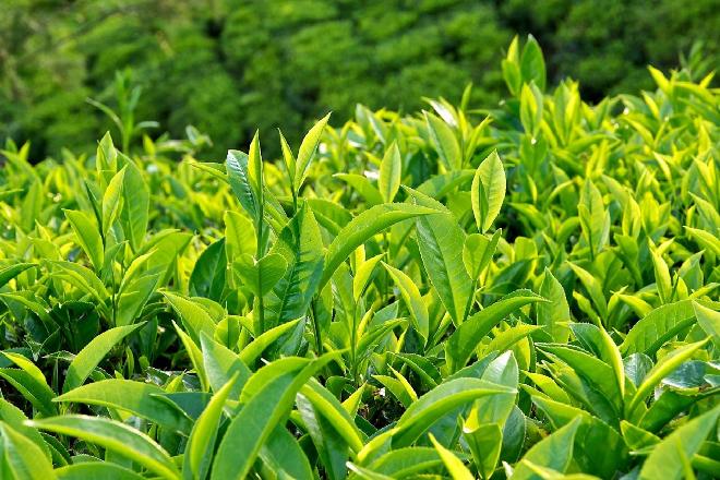 trà xanh trị nứt cổ gà