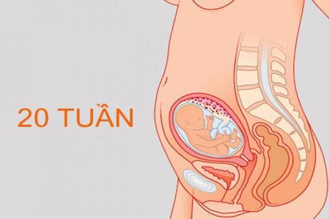 hình ảnh thai nhi tuần 20