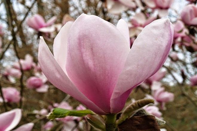 hoa lolanthe