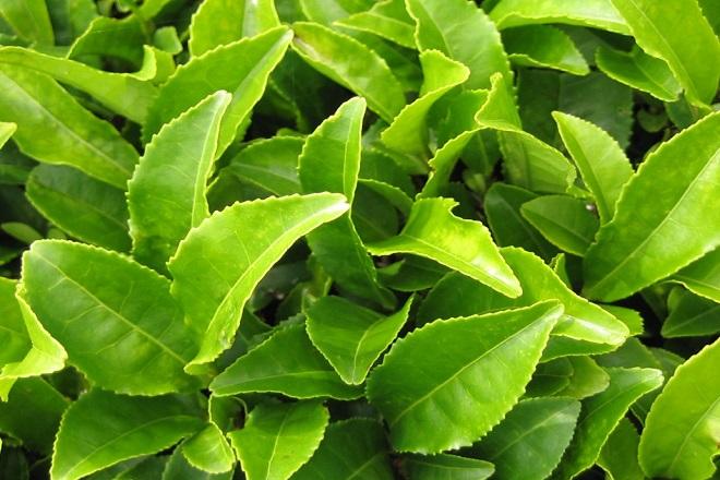 lá trà xanh thiên nhiên