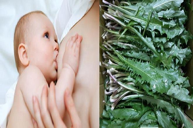 mẹ sau sinh dùng lá bồ công anh tươi để trị tắc sữa