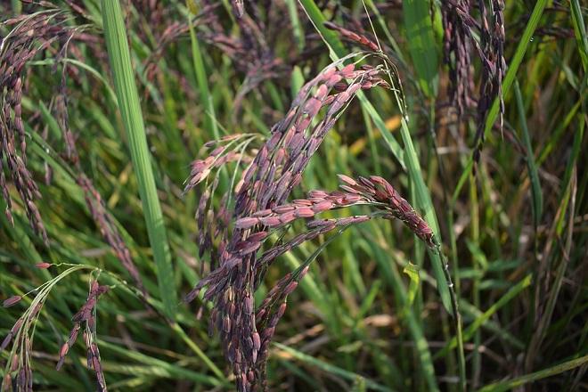 cách giảm cân ăn gạo lứt