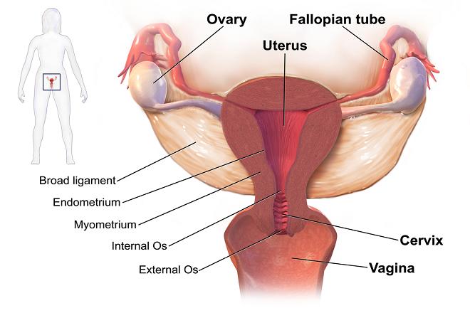 cấu tạo của tử cung