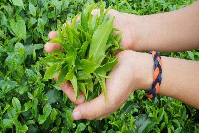 dùng lá trà xanh để nhai có thể chữa tê buốt răng sau sinh