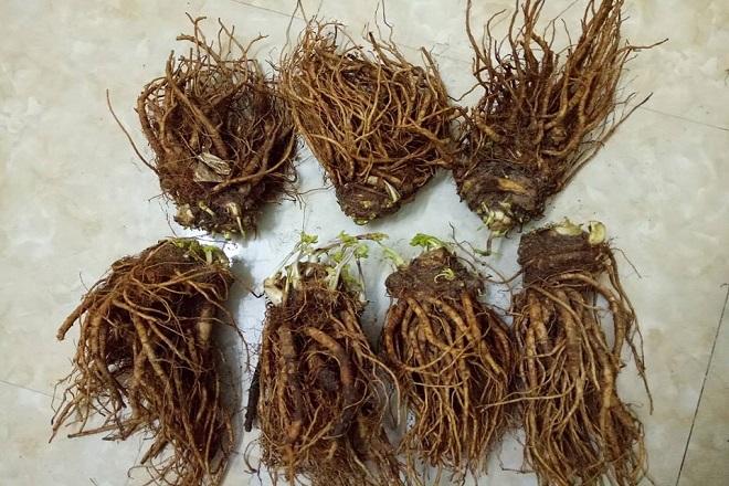 rễ đương quy giúp nuôi dưỡng lớp niêm mạc