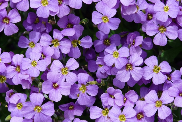 những bông hoa tím