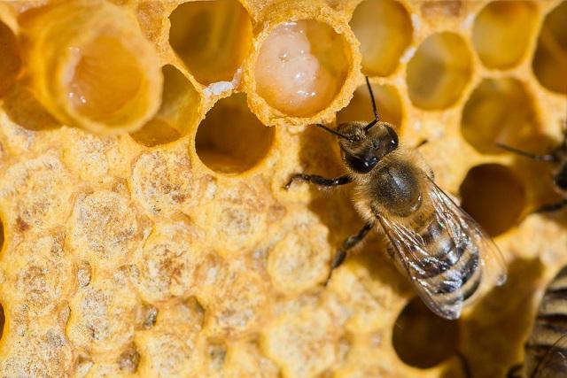 sữa ong chúa trên tổ