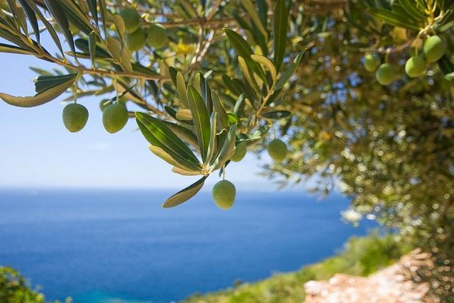trái olive