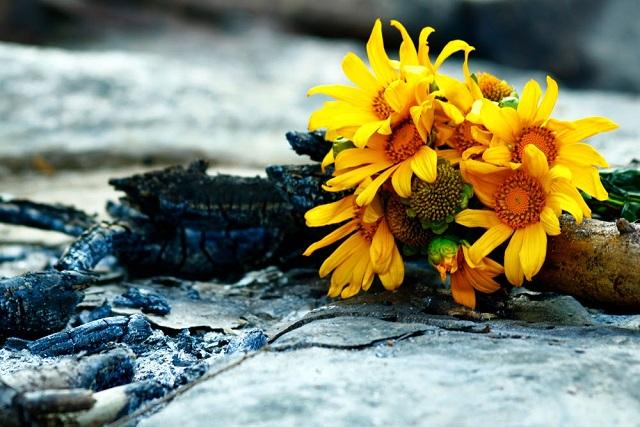 hoa dã quỳ đại diện tình yêu và lòng chung thủy