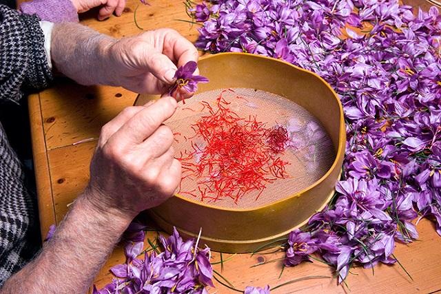 thu hoạch nhụy hoa bằng tay