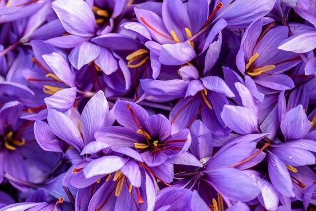 nhụy hoa nghệ tây giảm cân
