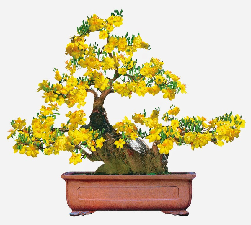 Cách chăm sóc cây mai ra hoa đúng tết chuẩn nhất