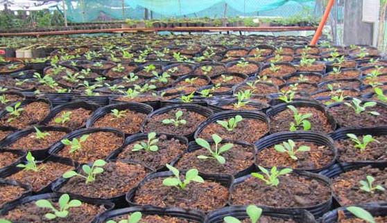Cách trồng hoa dạ yến thảo từ hạt trong chậu tại sân thượng