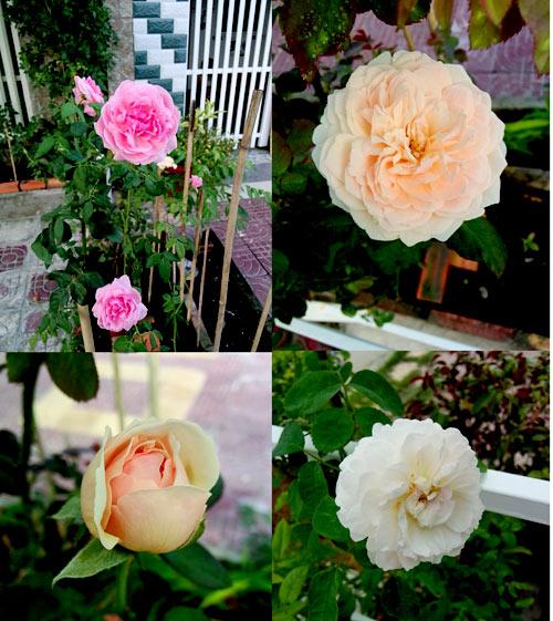Cách trồng hoa hồng leo trong chậu bằng hạt mua ngoài chợ