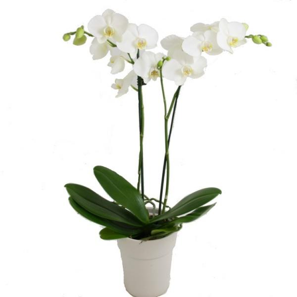 Cách trồng và chăm sóc hoa phong lan hồ điệp ra hoa 100%
