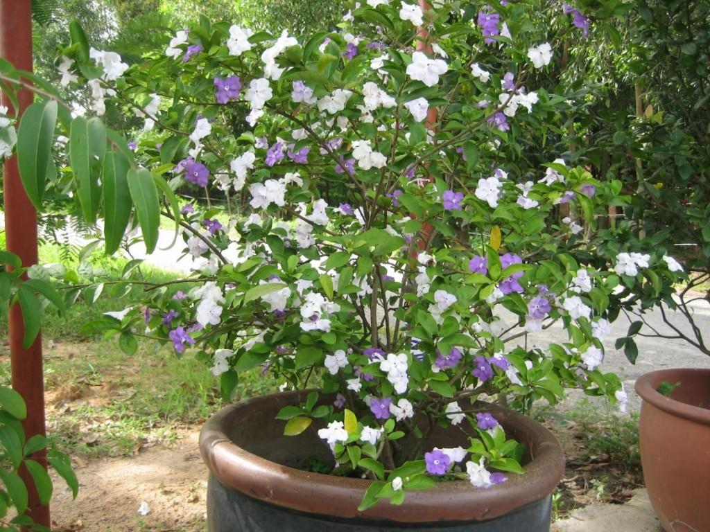 Cách trồng hoa nhài Nhật Bản trong chậu