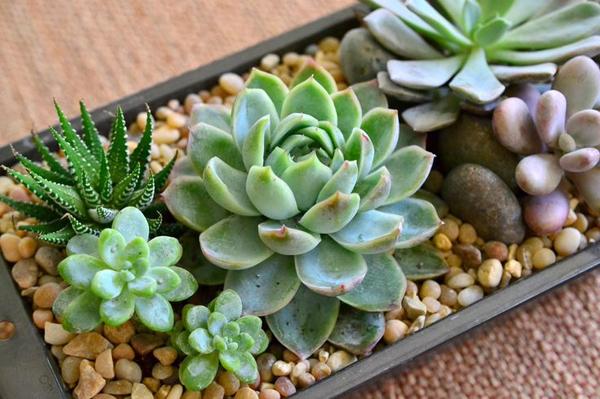 Cách trồng và chăm sóc hoa sen đá trong chậu đất