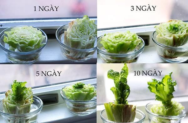 cach-trong-salad-tai-nha