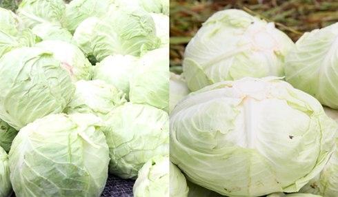 Cách nhận biết thực phẩm Trung Quốc giả dạng rau Đà Lạt