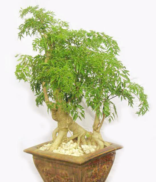 Công dụng của cây đinh lăng lá nhỏ với sức khỏe
