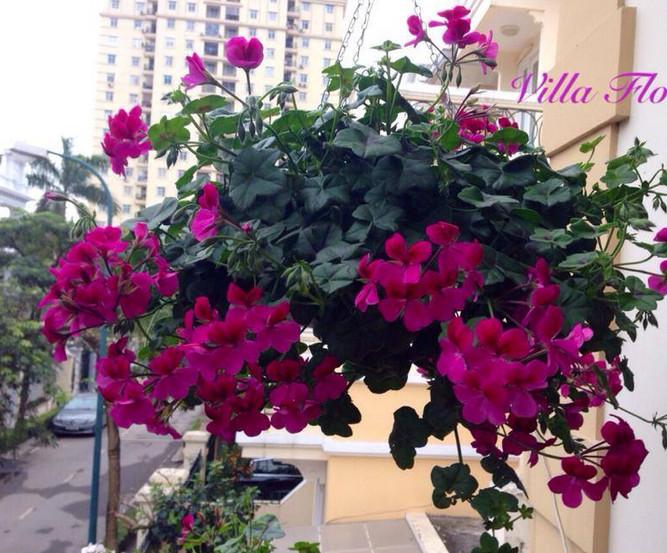 Những loại hoa nở quanh năm có thể trồng ở ban công